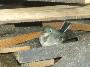 Baby Wagtail waiting for his feed
