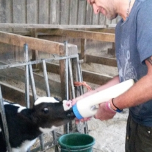Bottle feeding day old calf