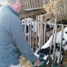 An experienced calf rearing guest feeds the older stronger calves